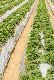 Rows of strawberry plants with silver film at farm