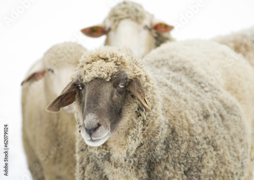 Sheep with black head
