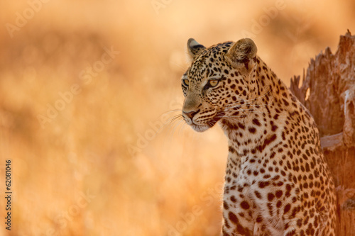 Tuinposter Luipaard Leopard at Sunset