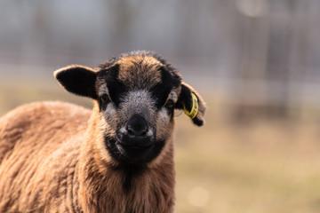 Skudden Schaf
