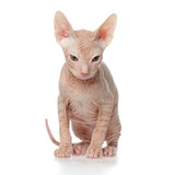 Sphynx kitten on white background