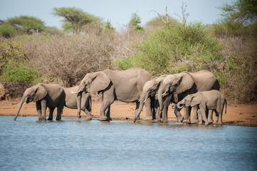 A herd of African elephants drinking water, Kruger National Park