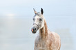 portrait of gray beautiful arabian horse