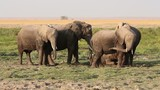 African elephants with young, Amboseli National Park