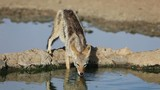 A black-backed Jackal drinking water, Kalahari desert