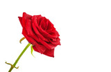 Wet red rose isolated