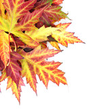vivid autumn maple leaves isolated on white