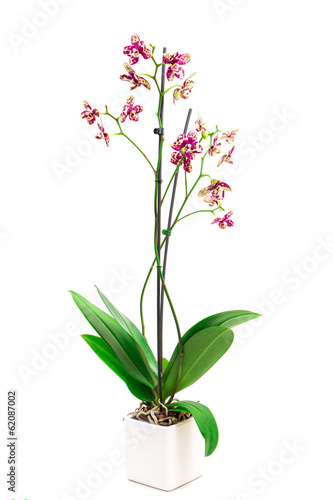 leopard orchid on a white background
