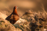Red Grouse at Sunset 2