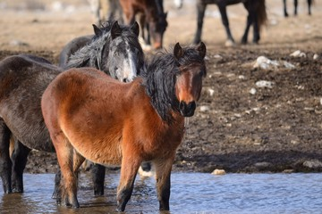 wild horses on waterholes