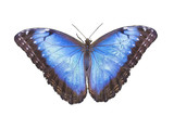 Blue Morpho Butterfly