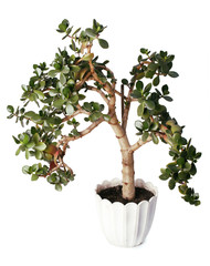 Crassula tree isolated on a white background