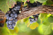 "Постер, картина, фотообои ""Red wine grapes on old vine"""