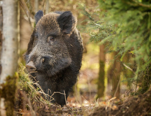 Wild boar, curiously watching