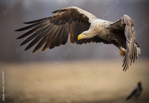 Deurstickers Eagle Adult white-tailed sea eagle in flight