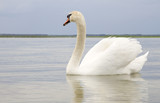 White swan on water surface.