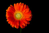 Orange gerbera daisy on black