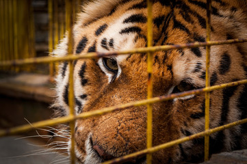Portrait Of A Tiger In A Cage