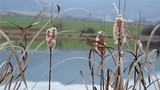 Reeds on the bank of the pond, reeds that survived the winter