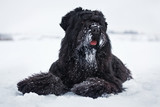 Black terrier is lying on the white snow
