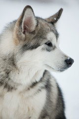 Dog husky looks off to the side