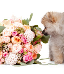 Pomeranian puppy with bouqet of flowers isolated on white backgr