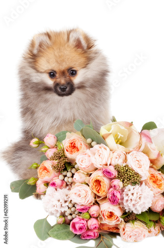 Pomeranian puppy with bouquet of flowers isolated on white backg