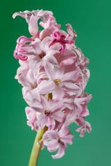 hyacinthus rose