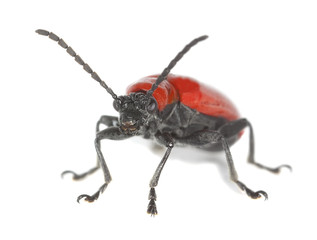 Scarlet lily beetle, Lilioceris lilii isolated on white