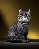 Cat, Race, Exotic Shorthair, Kitten, Studio