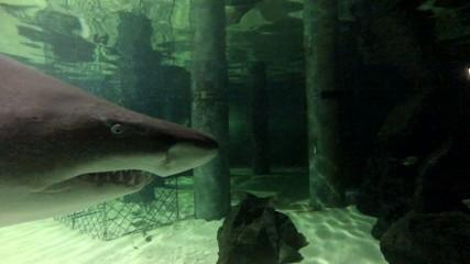 Haifisch Kopf