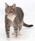 Gray tabby cat with orange eyes stands