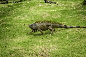 Walking Iguana