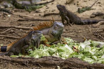 Iguana's Eating