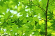カエデの新緑