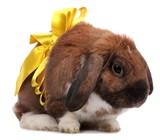Lop-eared rabbit with yellow bow isolated on white