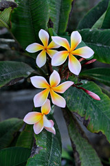 white and yellow frangipani flowers with leaves in background