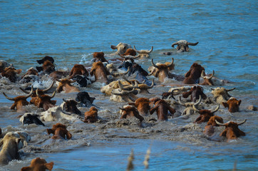 Cattle Drive the River