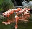 Red flamingos pack in ecological biopark.