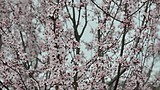 Pink flowering plum branches swaying in the wind, bees