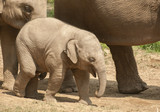 Young Asian elephant