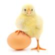 Leinwandbild Motiv chicken and egg