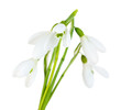 Beautiful snowdrops, isolated on white