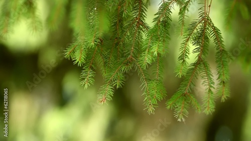 Green pine tree branch with blurry background