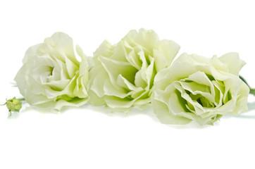 White Eustoma flowers