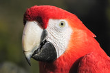 macaw head and beak closeup detail