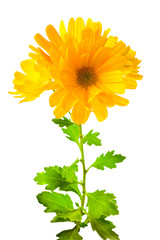 yellow chrysanthemum flowers with leaves, isolated on white back