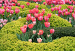 Beautiful Garden with Pretty Pink Tulip Flowers