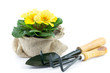 primrose in burlap sack and garden utensils