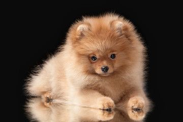 Pomeranian puppy on black background